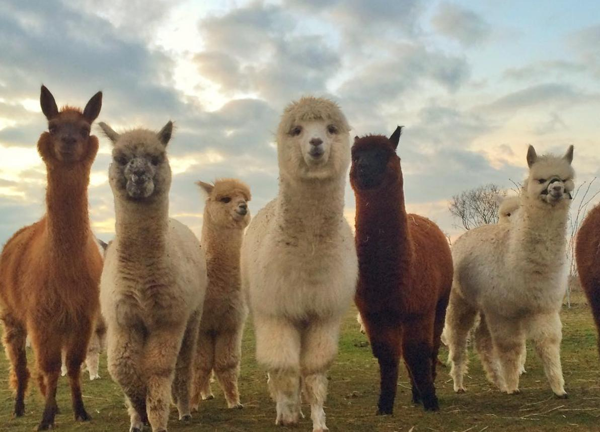 Berlin Alpaca Farm Is The Perfect Place For A Picnic