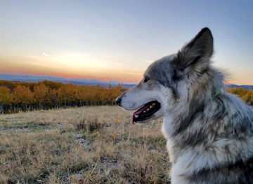 Meet Your New Best Friend At The Yamnuska Wolfdog Sanctuary In Canada