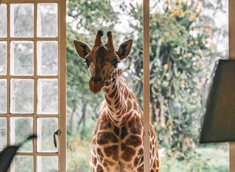 If You Want To Get Cozy With Giraffes, Giraffe Manor Is Your Spot