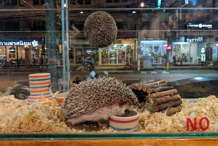 thailand hedgehog cafe