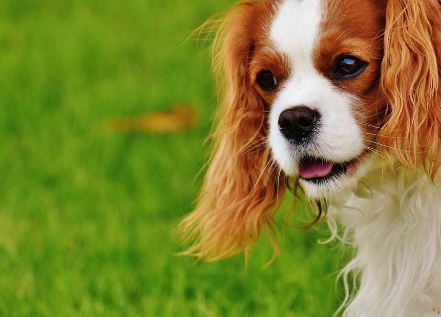 cavalier king charles spaniel facts