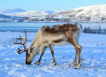 You Can Hang Out With Reindeer In The Snowy Norwegian Wilderness