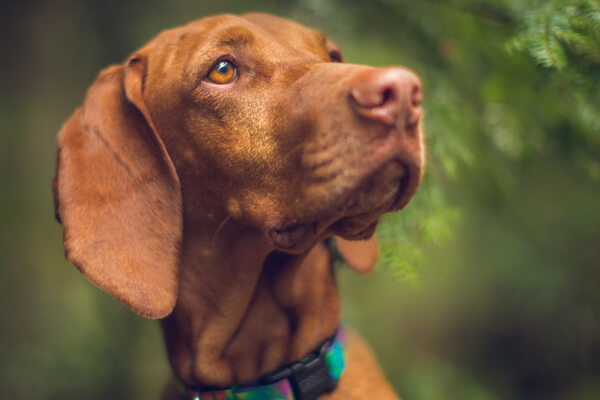 Whiskey, Vizsla, 5 Years Old