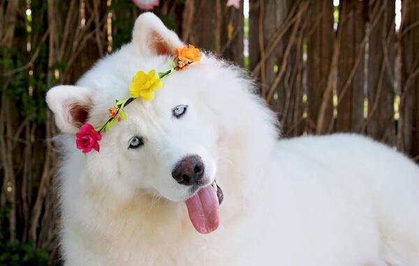 Monroe, Siberian Husky, 1 Year Old